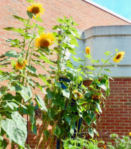 photo of sunflowers in the Central Library garden